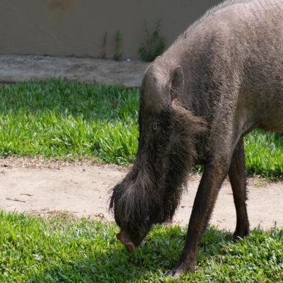 Бородатая свинья в парке Бако Малайзия