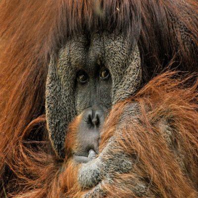 Орангутан в парке Бако Борнео Малайзия