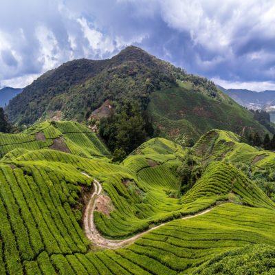 Чайная плантация в Камерон Хайлендз Малайзия