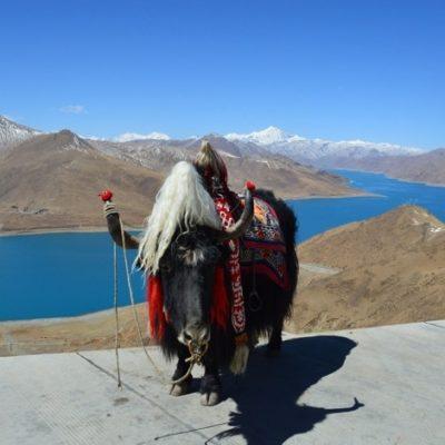 Тибетский як