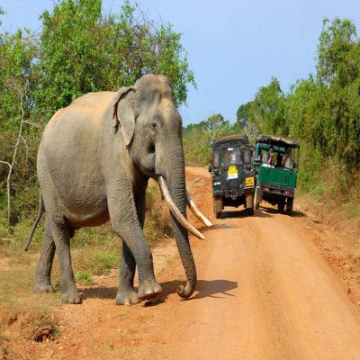 Шри-Ланкский слон