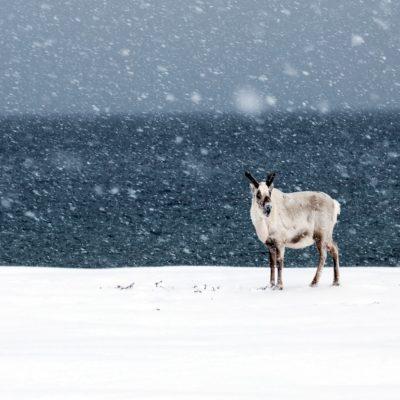 Арктический олень Шпицберген