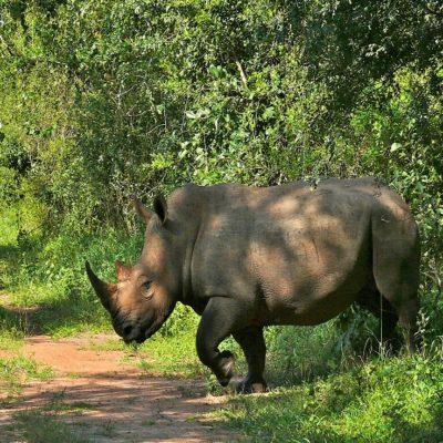Белый носорог в заповеднике Зива Уганда