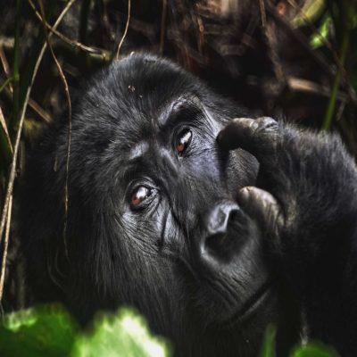 Горилла Уганда