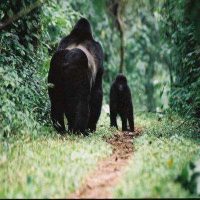 Гориллы в лесу Бвинди Уганда