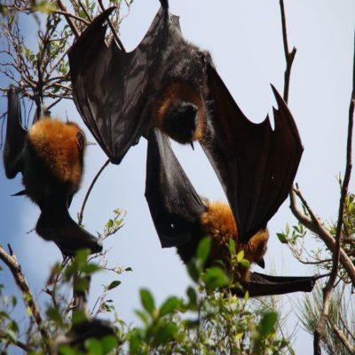 Летучие лисицы Уганда