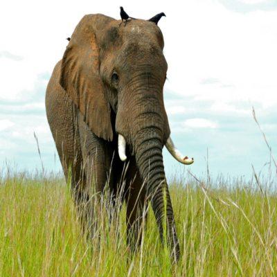 Национальный парк Мёрчисон 1 Уганда