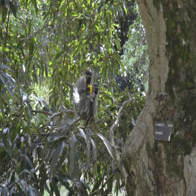 Обезьяны в Ботаническом саду Энтеббе Уганда