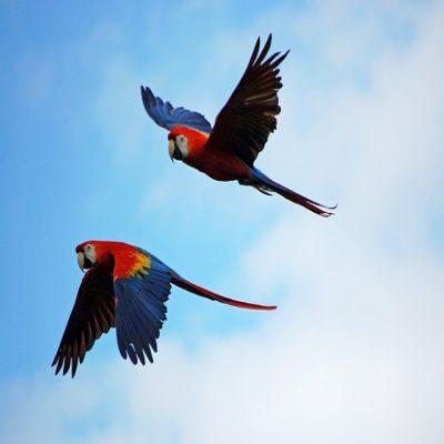Попугаи Ара в живой природе