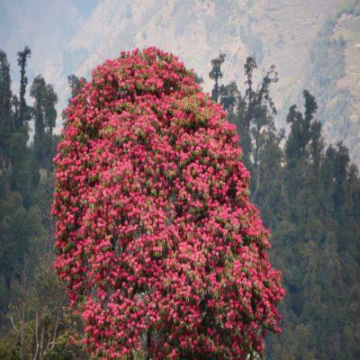 Рододендроны в Гималаях Непал