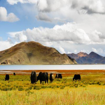 Тибетские яки и озеро