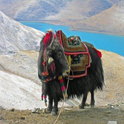 Тибетский як 2