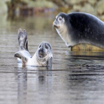 Тюлени Шпицберген