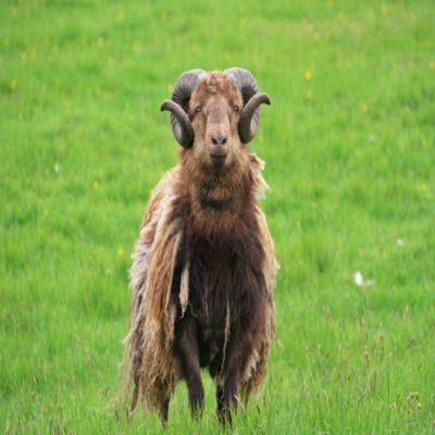 Фарерские бараны Фарерские острова