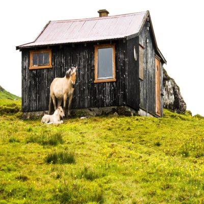 Фарерские лошади Фарерские острова