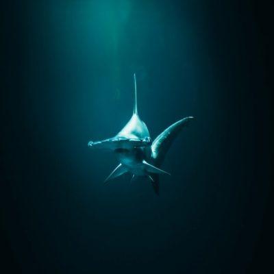Молотоголовая акула Мальдивы