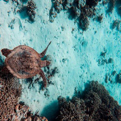 Морская черепаха Мальдивы