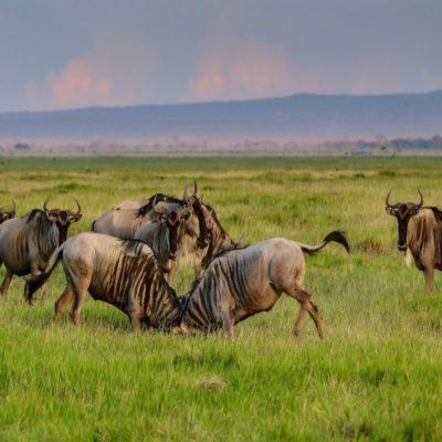 Национальный парк Амбосели Кения