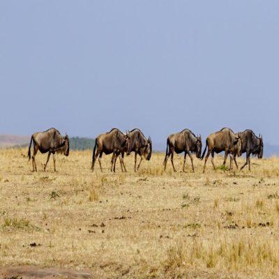 Национальный парк 1 Масаи Мара Кения