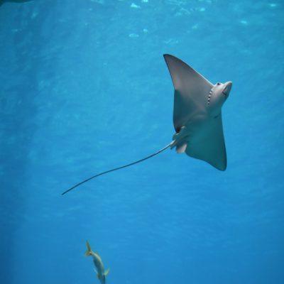 Скат-орляк Мальдивы