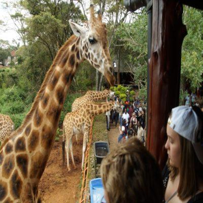 Центр разведения жирафов в Найроби Кения