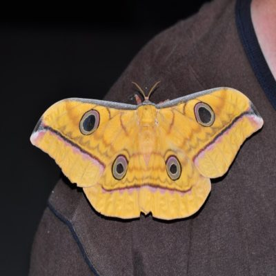 Бабочка Тангкоко Сулавеси Индонезия