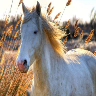 Белая лошадь в Камарге Прованс Франция