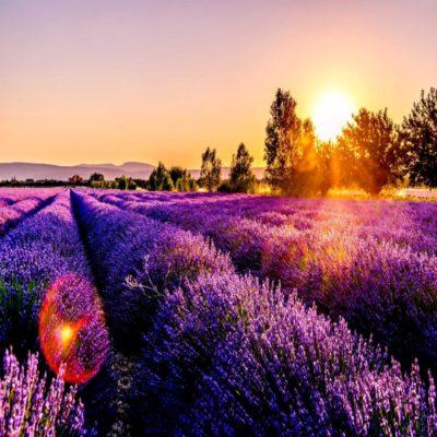 Лавандовые поля Прованса Франция