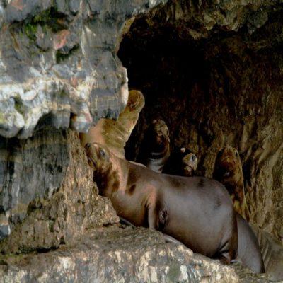 Морские львы на острове Марты Чили