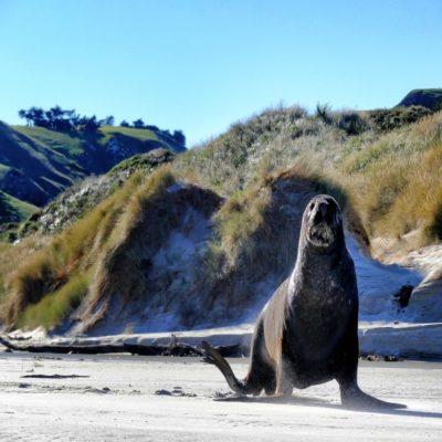 Морской котик в Данедине Новая Зеландия