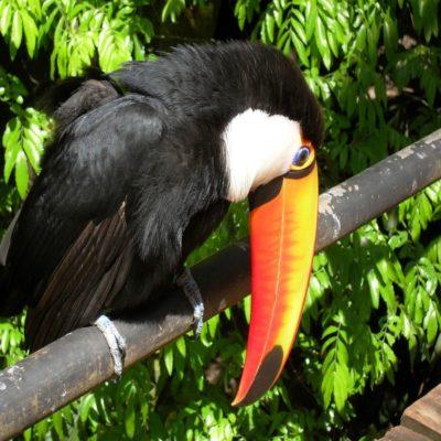 Птица тукан Бразилия Аргентина