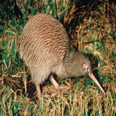 Птичка Киви Новая Зеландия
