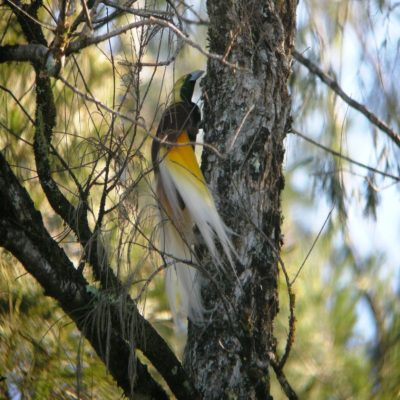 Райская птица Папуа Индонезия