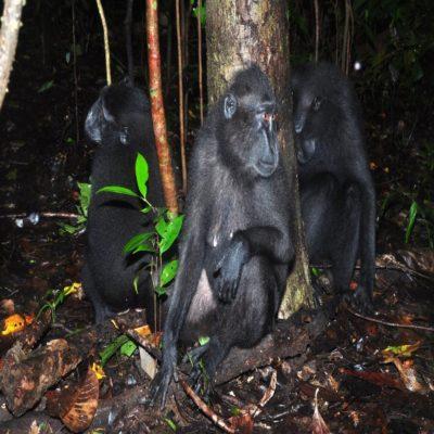Хохлатые павианы Тангкоко Сулавеси Индонезия