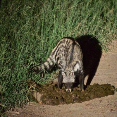 Виверра Мадагаскар
