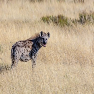 Гиена в национальном парке Этоша Намибия