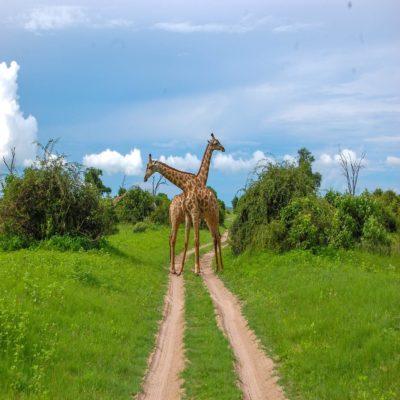 Жирафы в Национальном парке Чобе Ботсвана