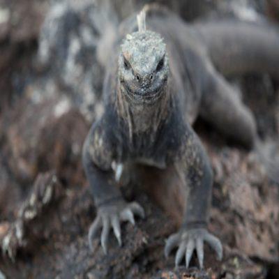 Игуана Галапагосские острова Эквадор