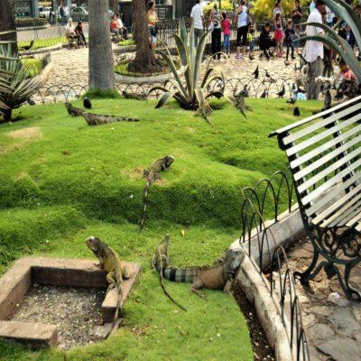 Игуаны в парке Гуаякиля Эквадор