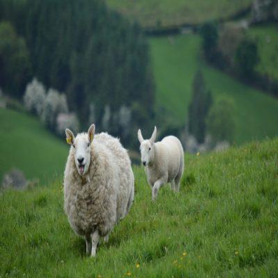 Ирландские овечки Ирландия