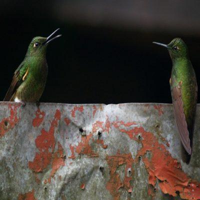 Колибри в заповеднике Акайме Колумбия