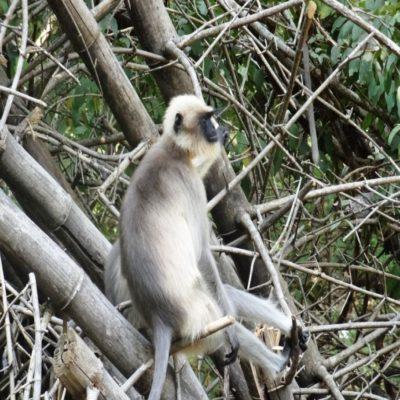 Лангур Мадагаскар