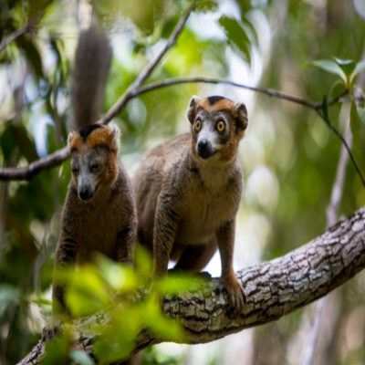 Лемур индри Мадагаскар