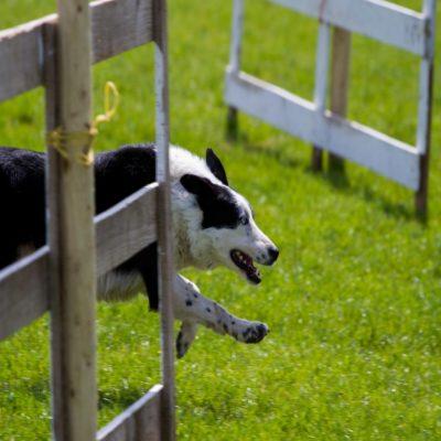 Пастушья собака Ирландия