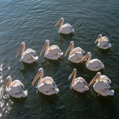 Пеликаны в Уолфиш Бэй Намибия