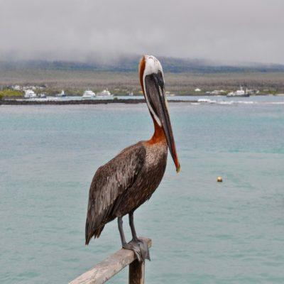 Пеликан Галапагосские острова Эквадор