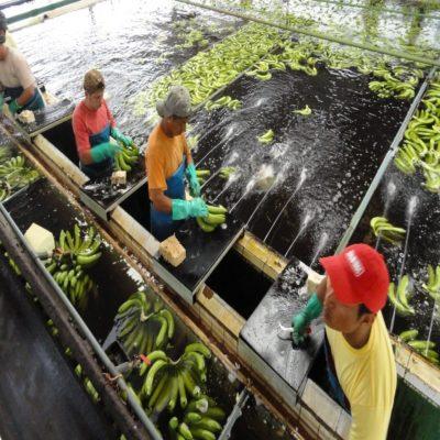 Переработка бананов Эквадор