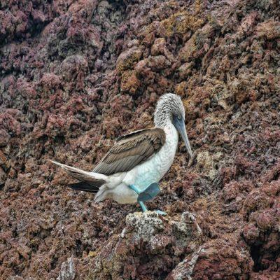 Синелапая олуша Галапагосские острова Эквадор