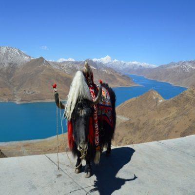 Тибетский як на перевале Камба-Ла