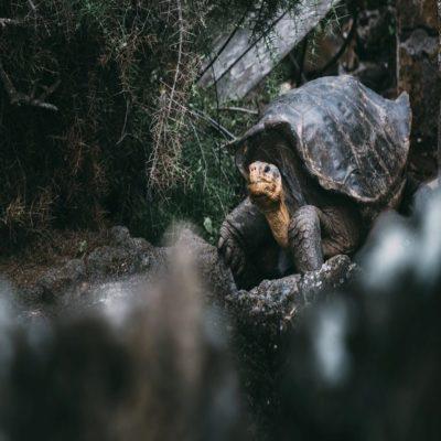 Черепаха Галапагосские острова Эквадор